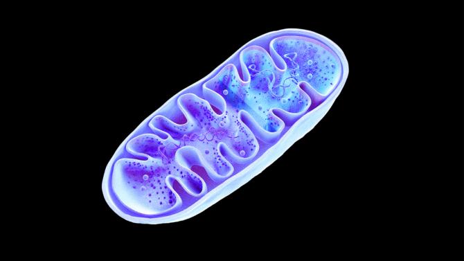 המיטוכונדריה – סוללת החיים – שאלות ותשובות